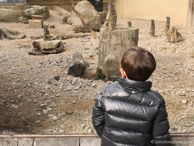 London Zoo Meerkats