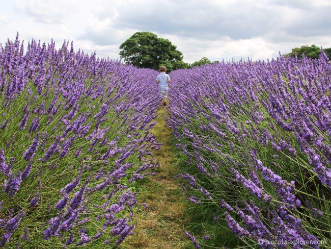Mayfield Lavender Fields, Surrey