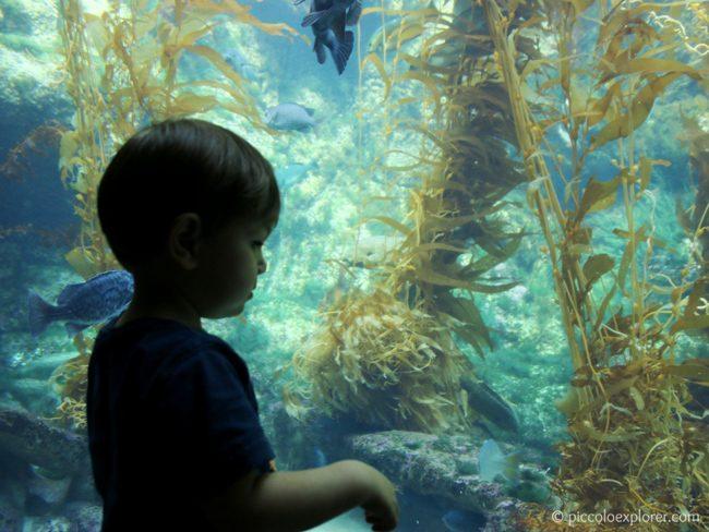 Birch Aquarium at Scripps Kelp Tank, La Jolla CA