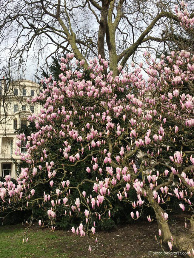 Magnolia Tree in Kensington Gardens, London