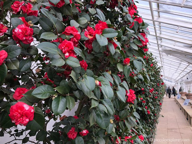 Camellia Flower Show at Chiswick House