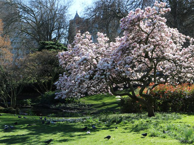 Magnolia at Hyde Park, London
