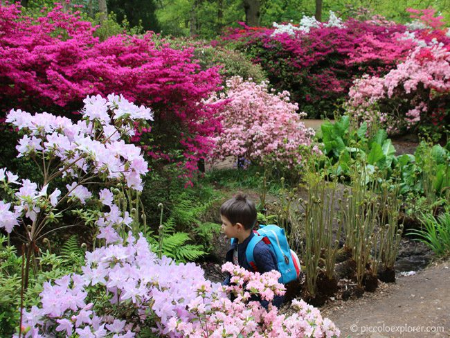 Azaleas and rhododendrons in bloom at Isabella Plantation, Richmond Park, London
