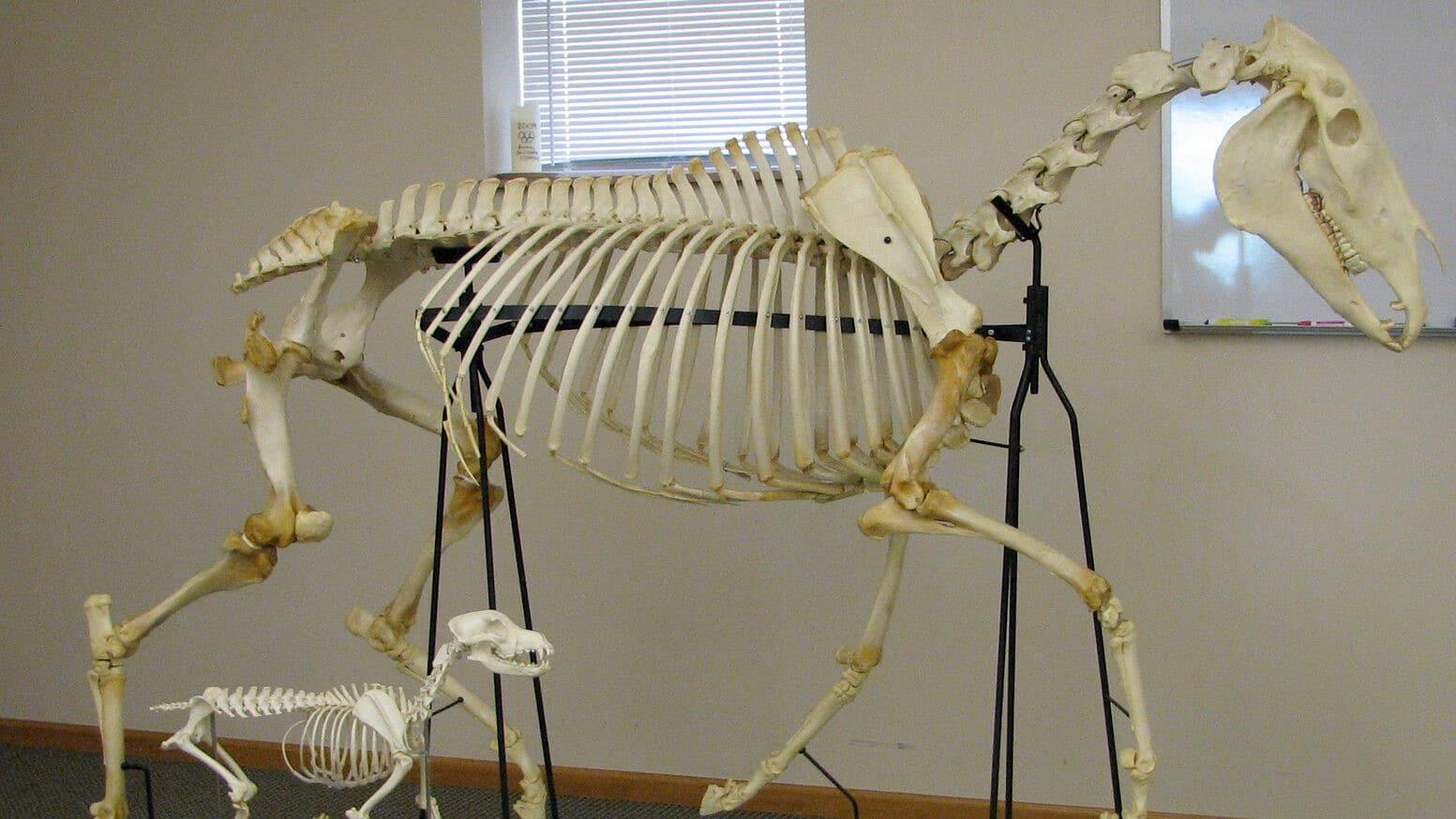 Dog-and-Horse-Skeleton