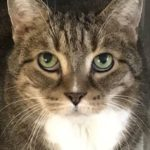 cat, serious, tabby, white