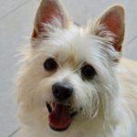 westie, dog, smile