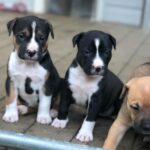 puppies, litter, siblings