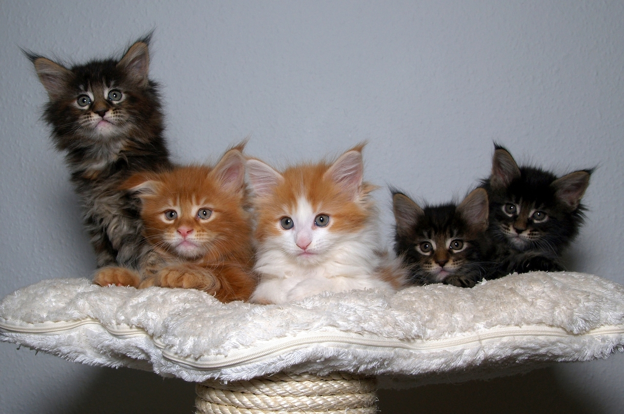 kitens, litter, siblings, DLH
