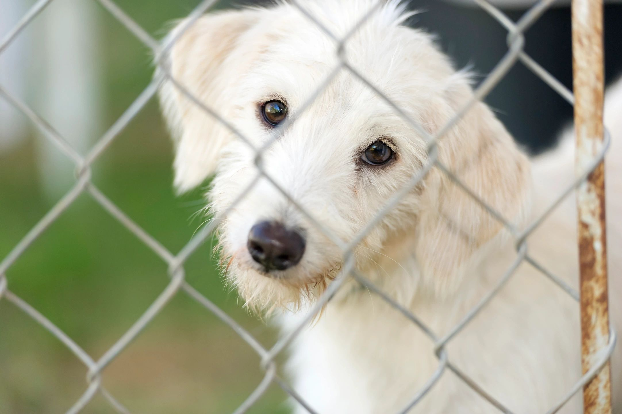 dog, fence, mix breed, sad