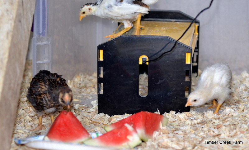 keep chickens warm