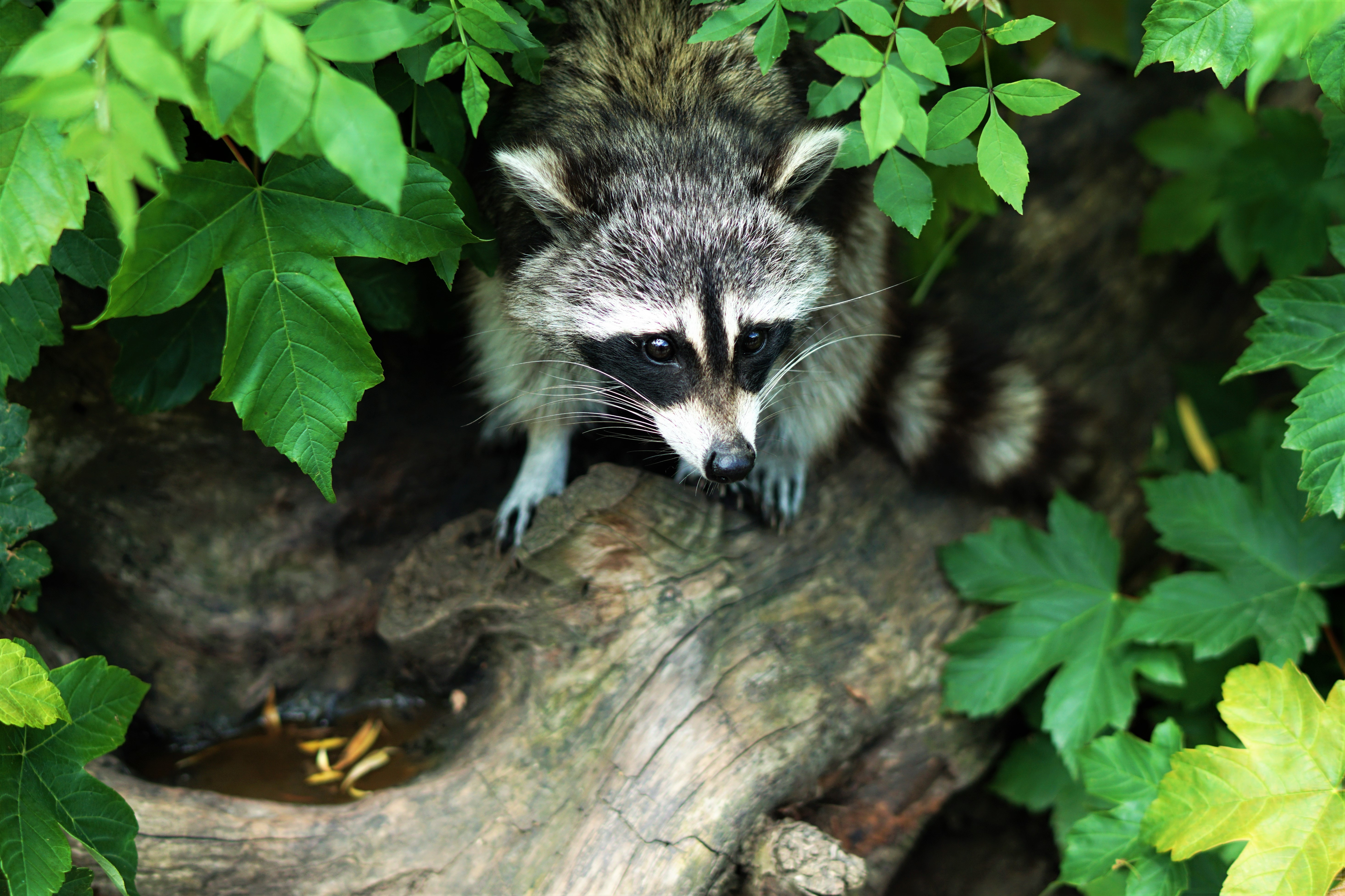 Raccoon on a log- Predator control on the homestead