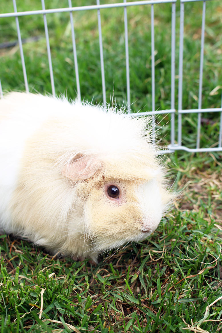 So You Want to Get a Guinea Pig?
