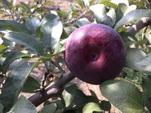 royal empire apple