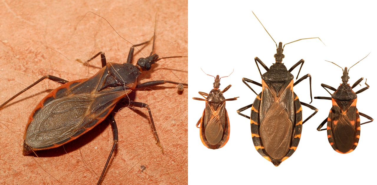 The kissing bug epidemic