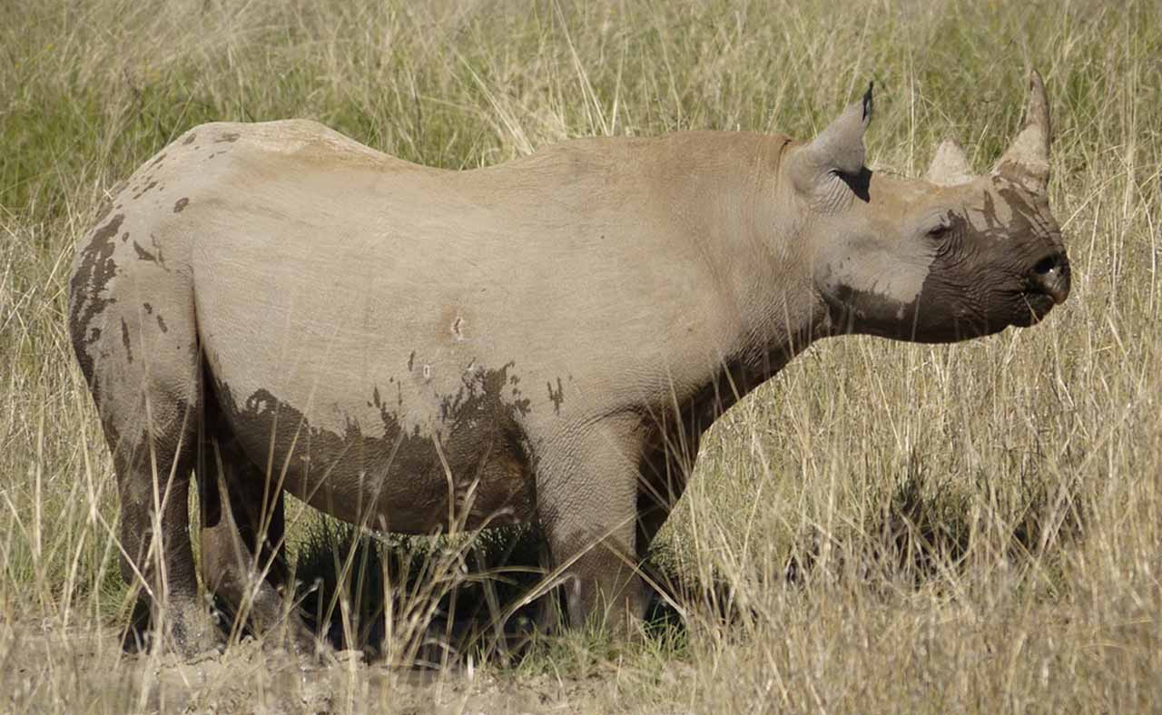 Western Rhino