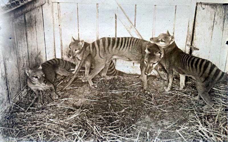 Thylacine - Tasmanian devil