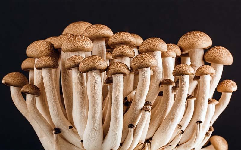 Mushroom spores, microscope