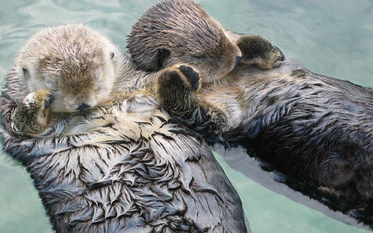 Sea otters hold hands when they sleep to keep from drifting apart, animals, fact, facts, life, survival, nature