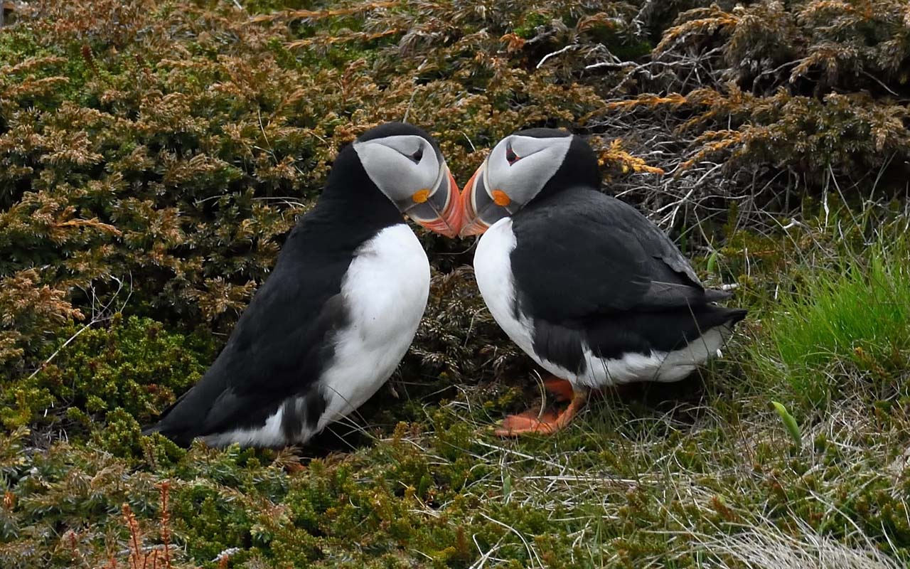 Puffins, mate, life, love, birds, awesome