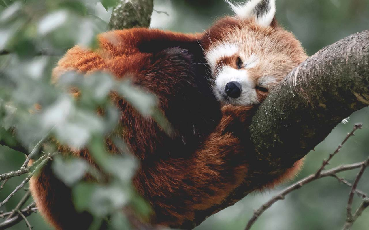 Red pandas, animal, animals, life, nature