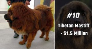 Tibetan Mastiff, animal, dog, pet, pets, life, nature