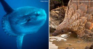 Manis temminckii, animal, endangered, nature