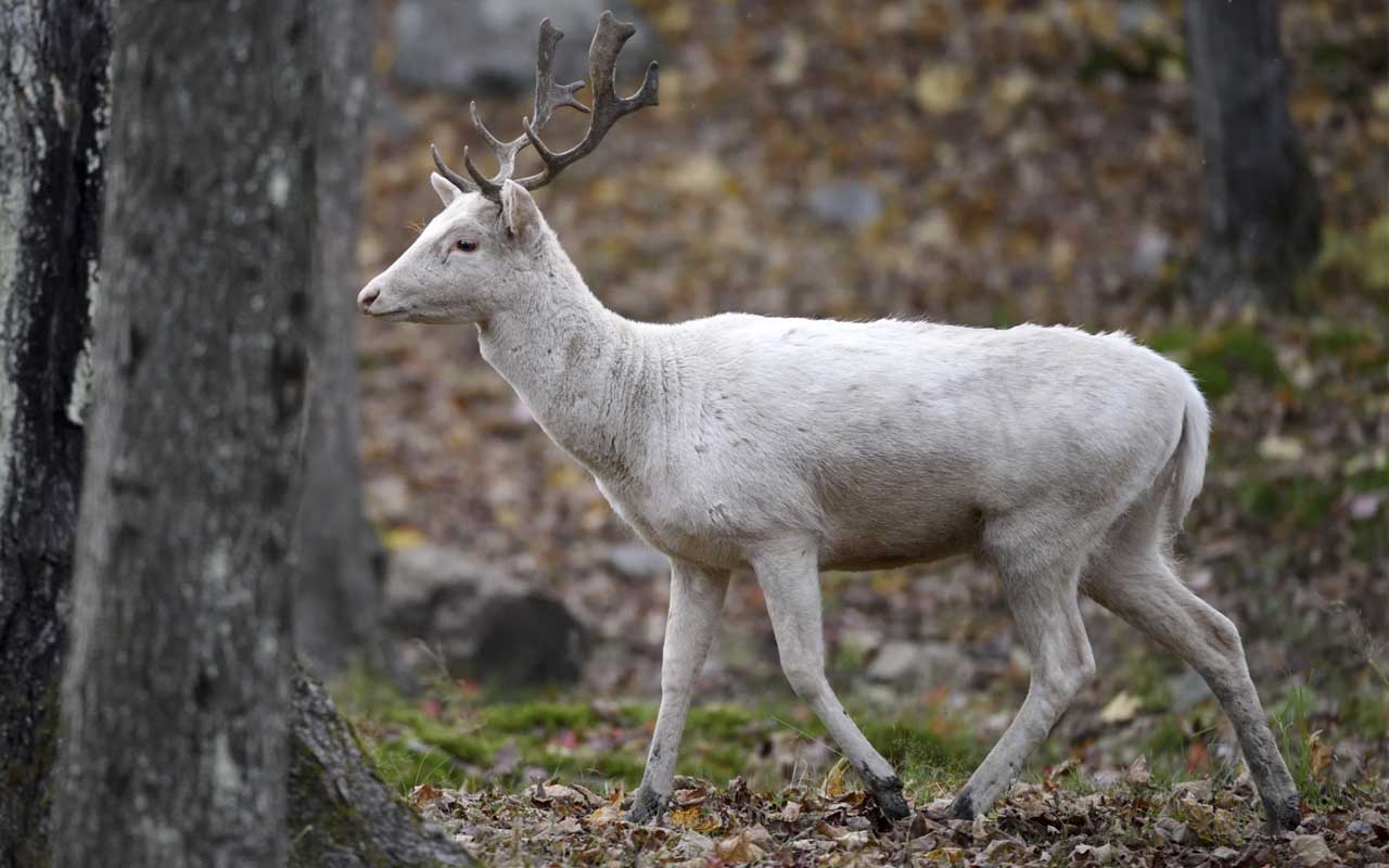 reindeer, albino, white, nature, planet