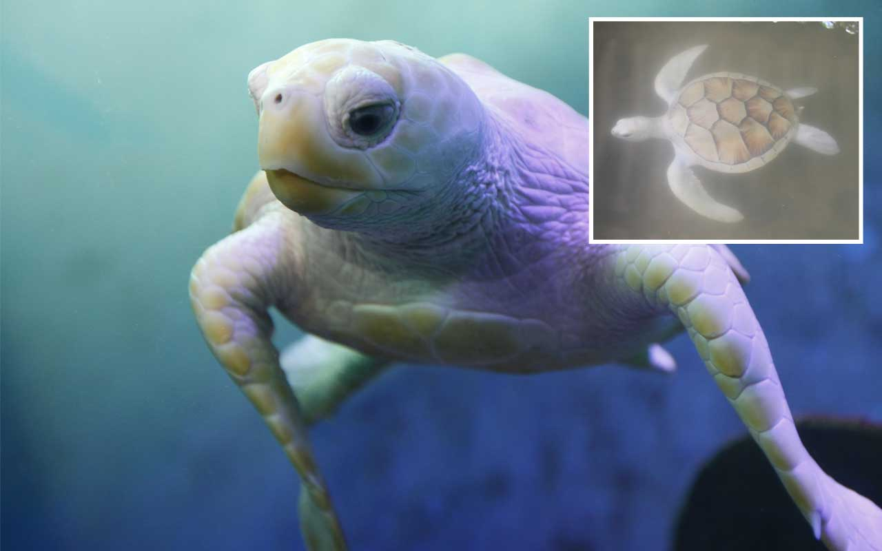 albino turtle, animal, mammal, life