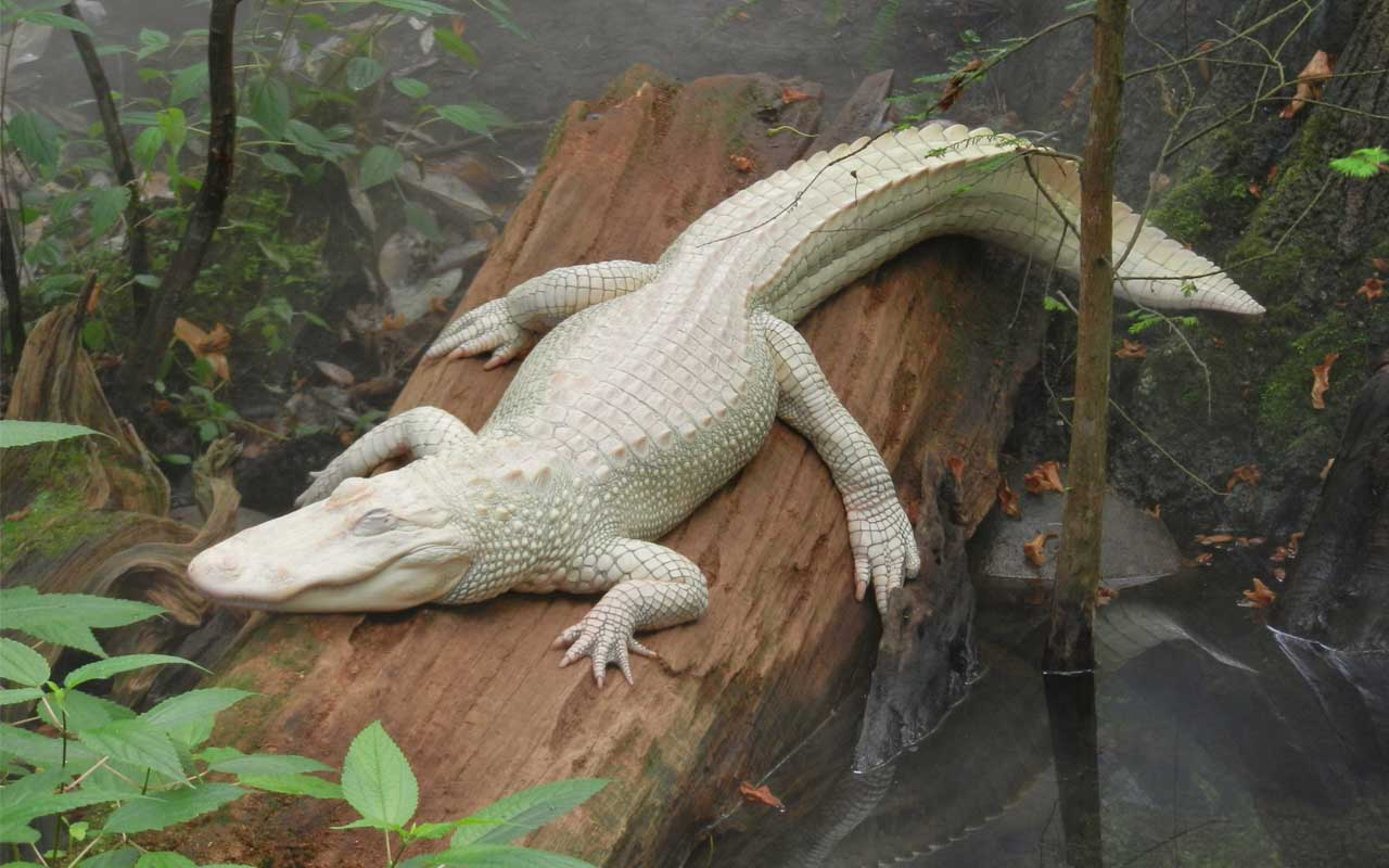 alligator, albino, facts