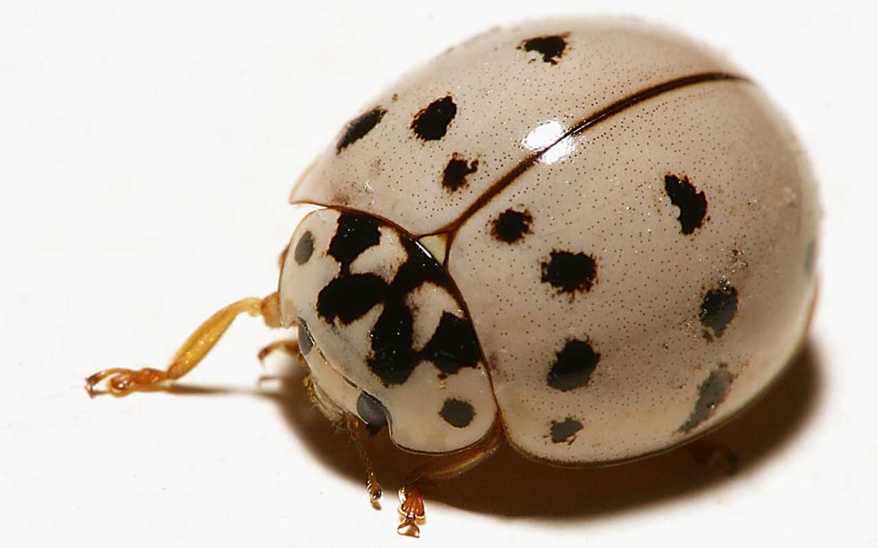 white ladybug, animal, planet, nature