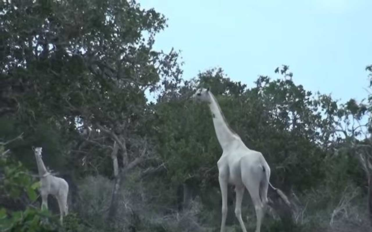 giraffe, albino, life, nature, planet