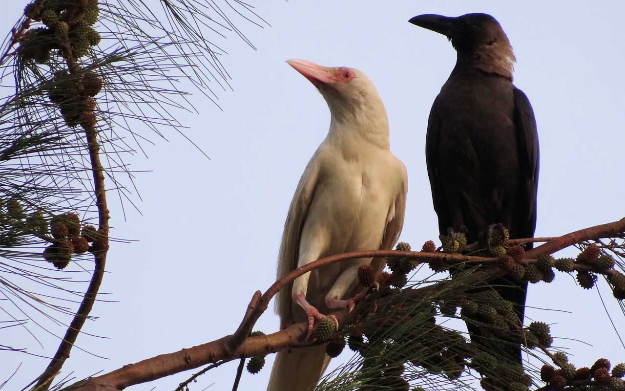 crow, albino, white, color, bird