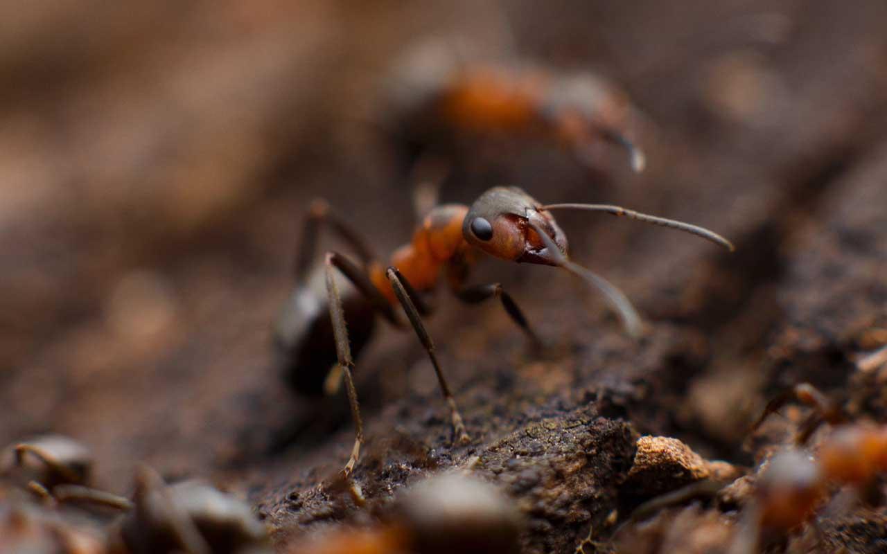 ants, colony, facts, Antarctica