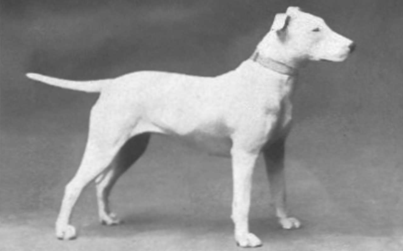 Bull Terrier, breeds, dogs, facts