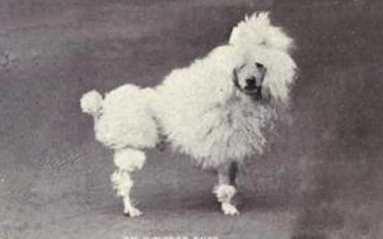 Toy Poodle, dogs, luxury, facts