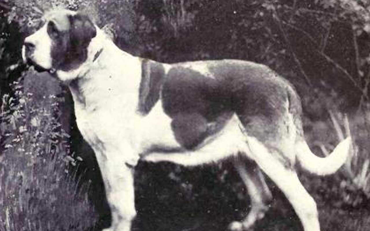 St. Bernard, dog, facts, life