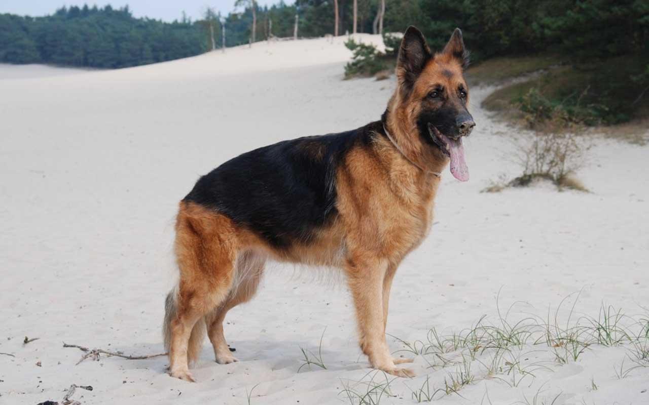 German Shepherd, dog, life, animals