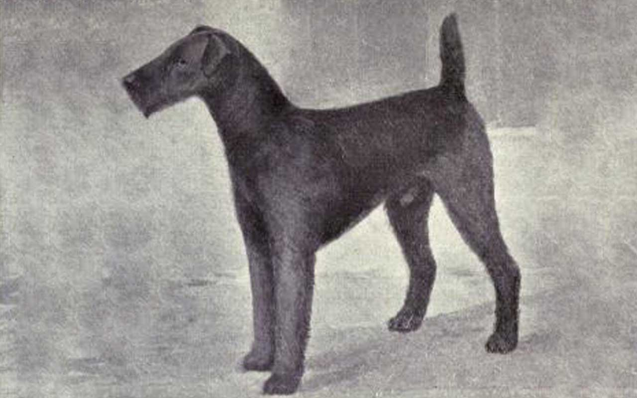 Airedale terrier, history, facts, life