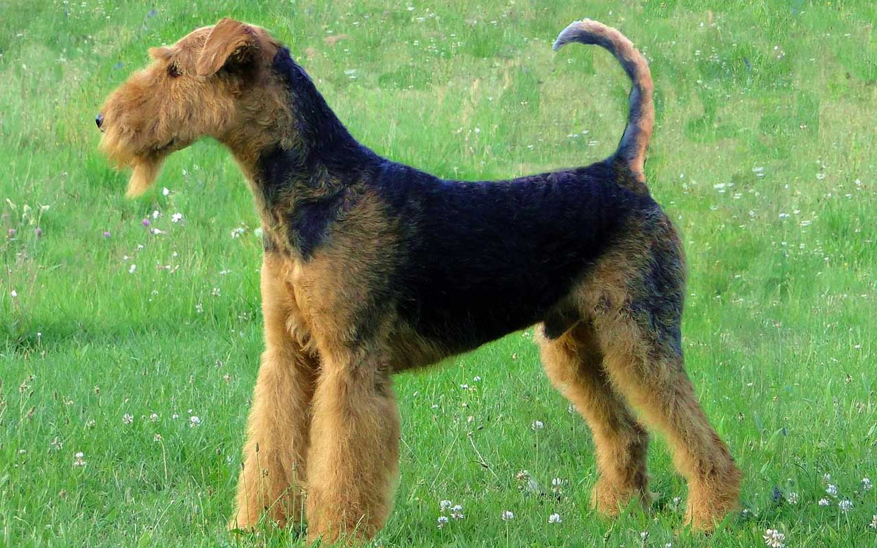 Airedale terrier, dog, nature, animals