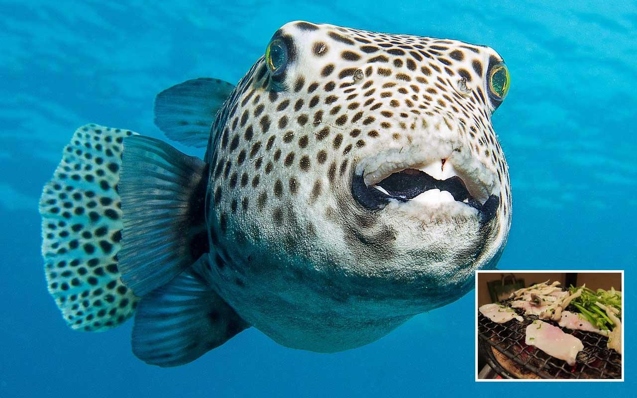 Fugu, puffer fish, delicacy, food