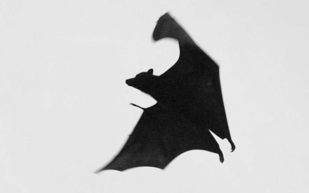 bats, life, nature, sight, facts