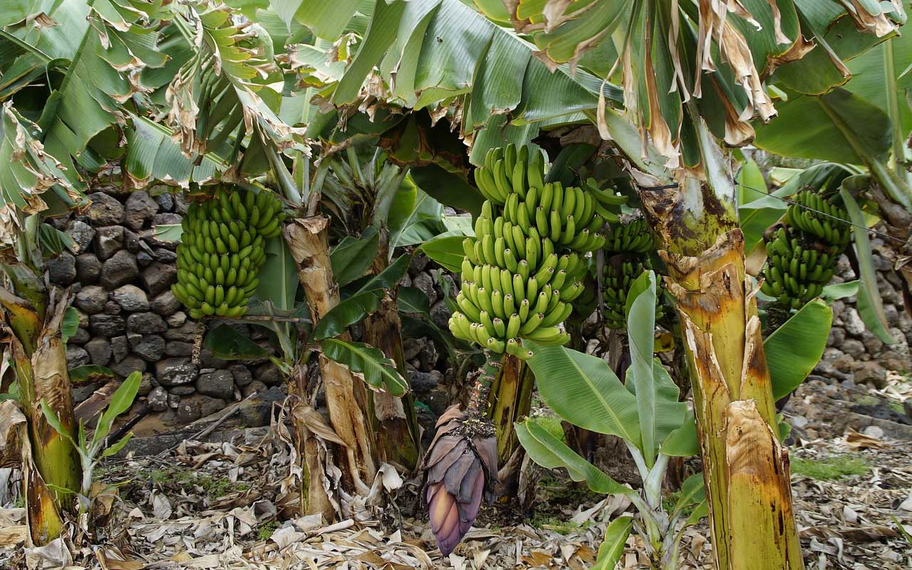 Banana, tree, plant, herb