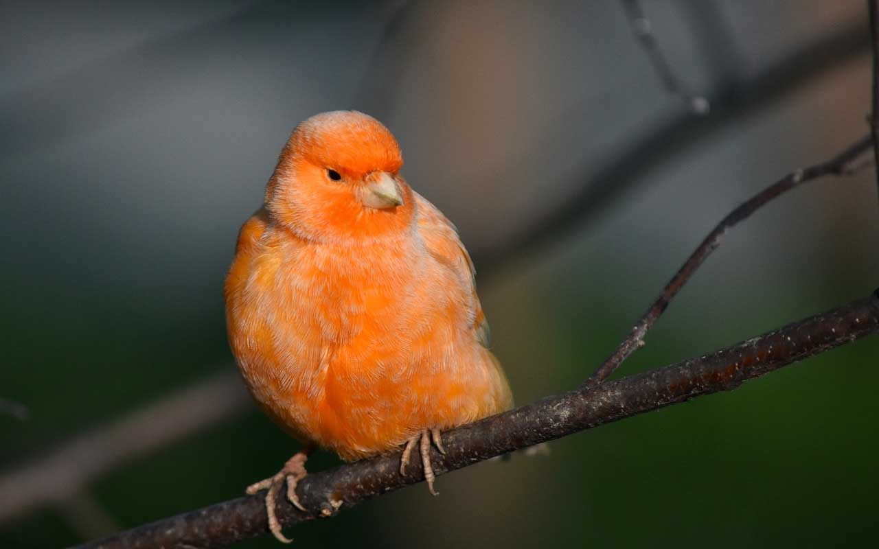 red canary, life, nature, facts