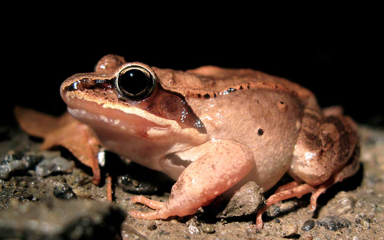 Wood frog, nature, winter, facts