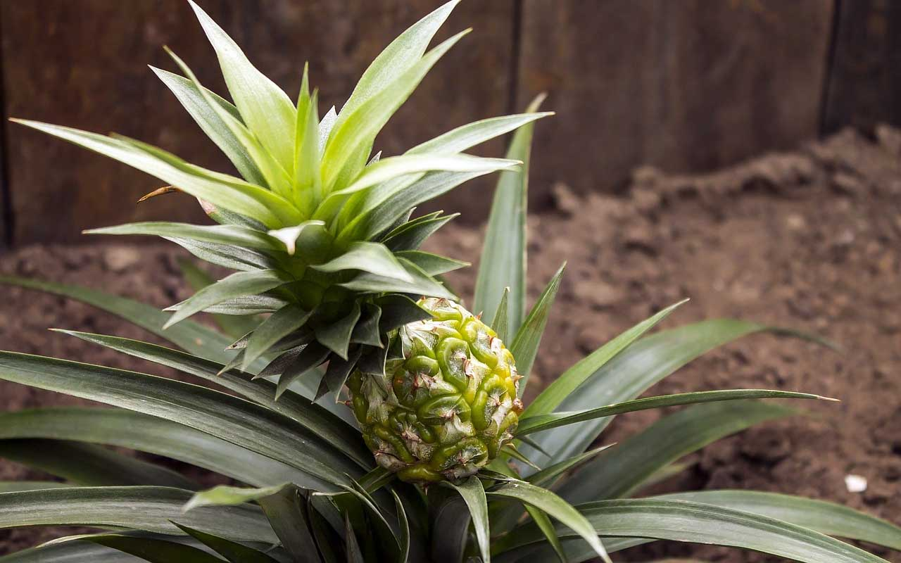 pineapple, plants, nature, air, quality