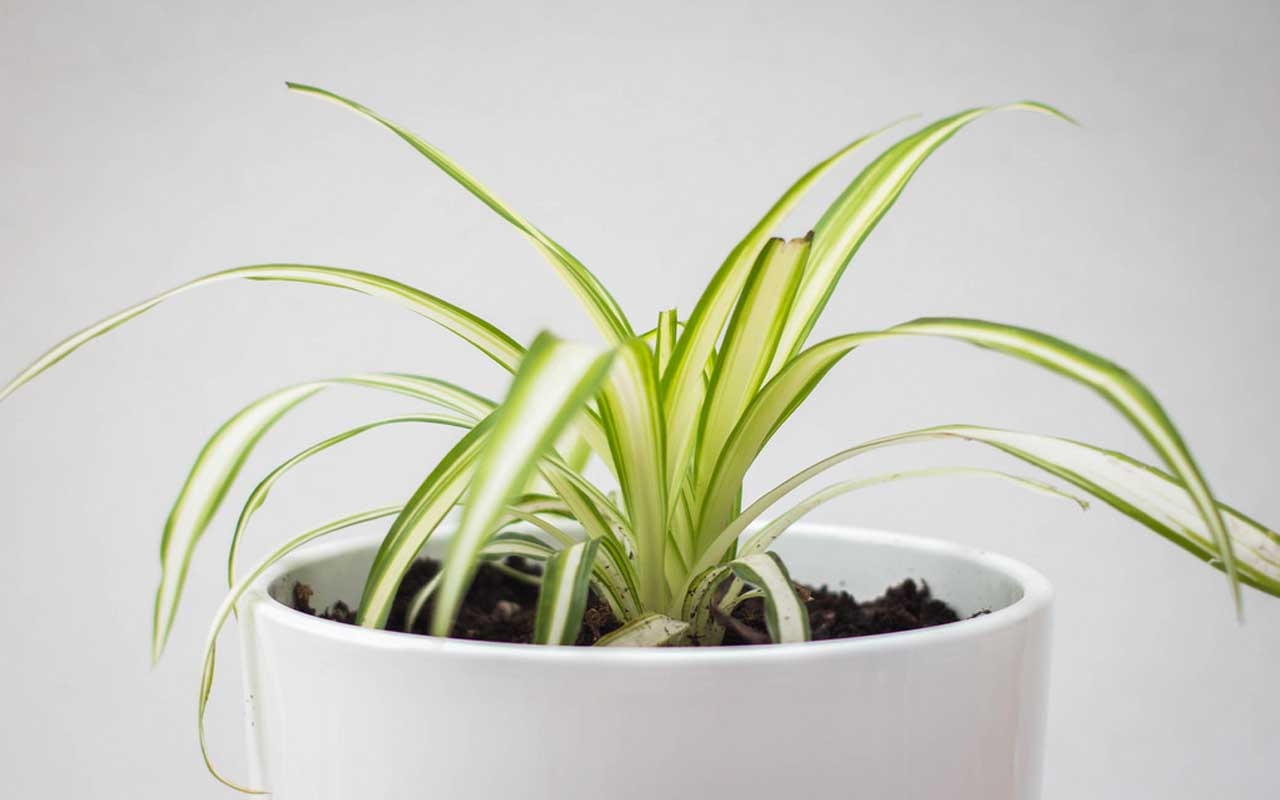 spider plant, nature, trees, herb, life