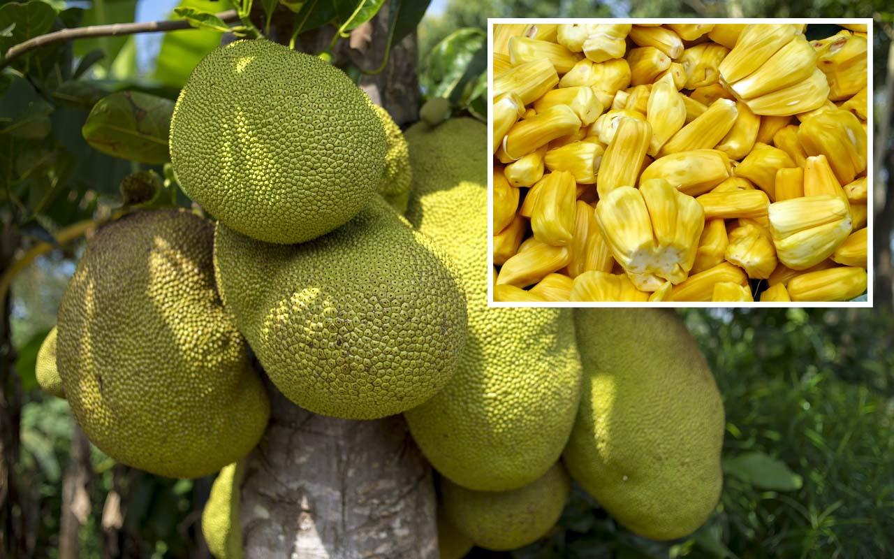 Jackfruit, life, fruits, foods, nature, agriculture, India