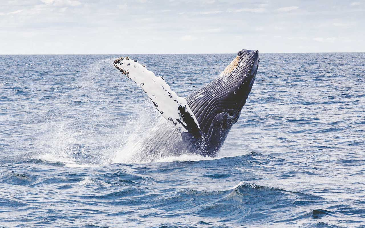 humpback whale, facts, life, nature, animals, uplifting