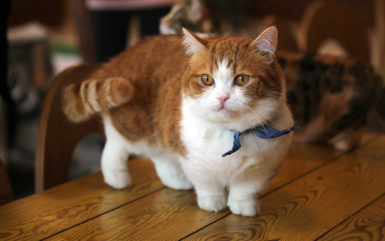 munchkin, cat, facts, animal, nature, life, Earth, science