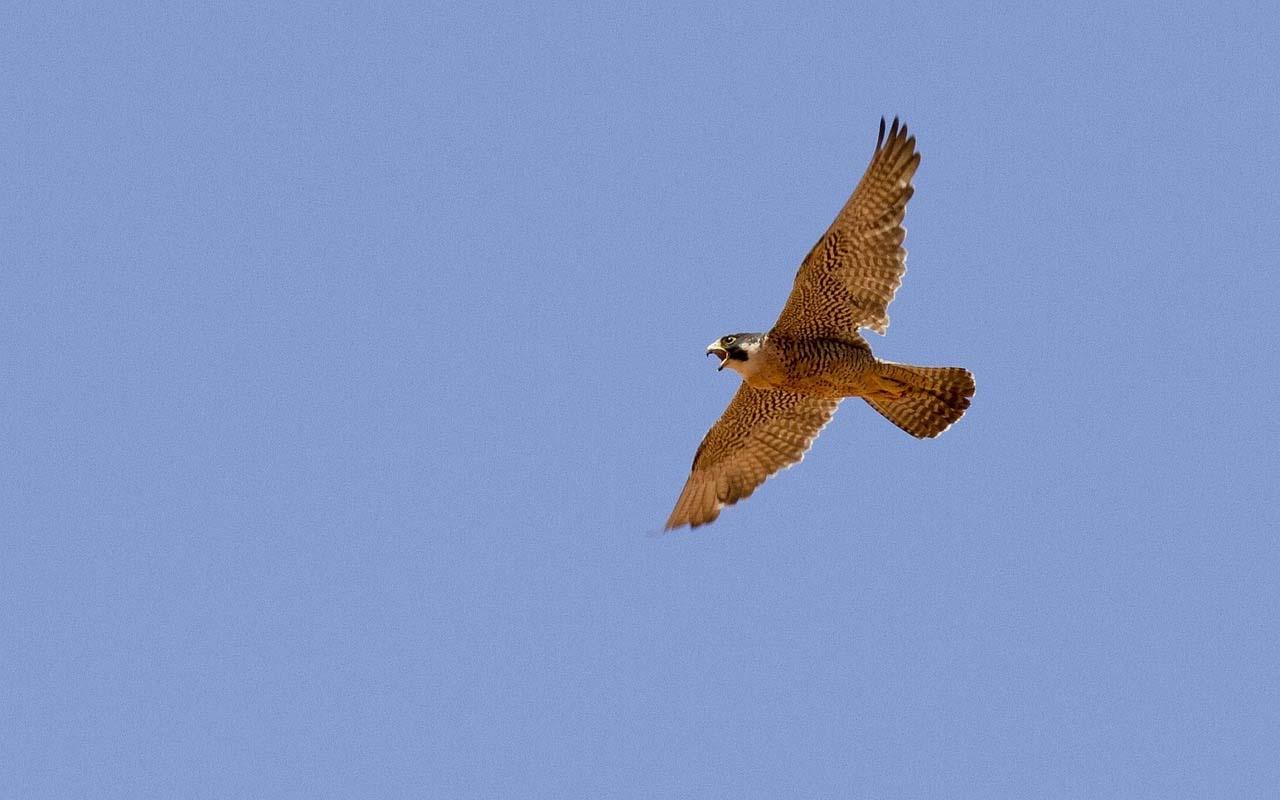 Peregrine falcons, speed, agility, life, abilities, birds, nature